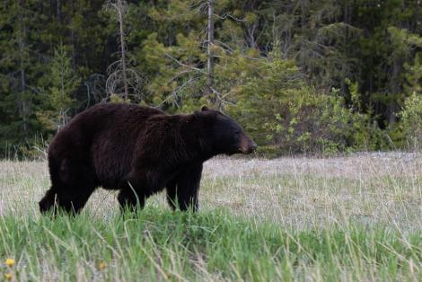 black-bear-1019063_960_720
